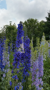 Delphiniums and ...